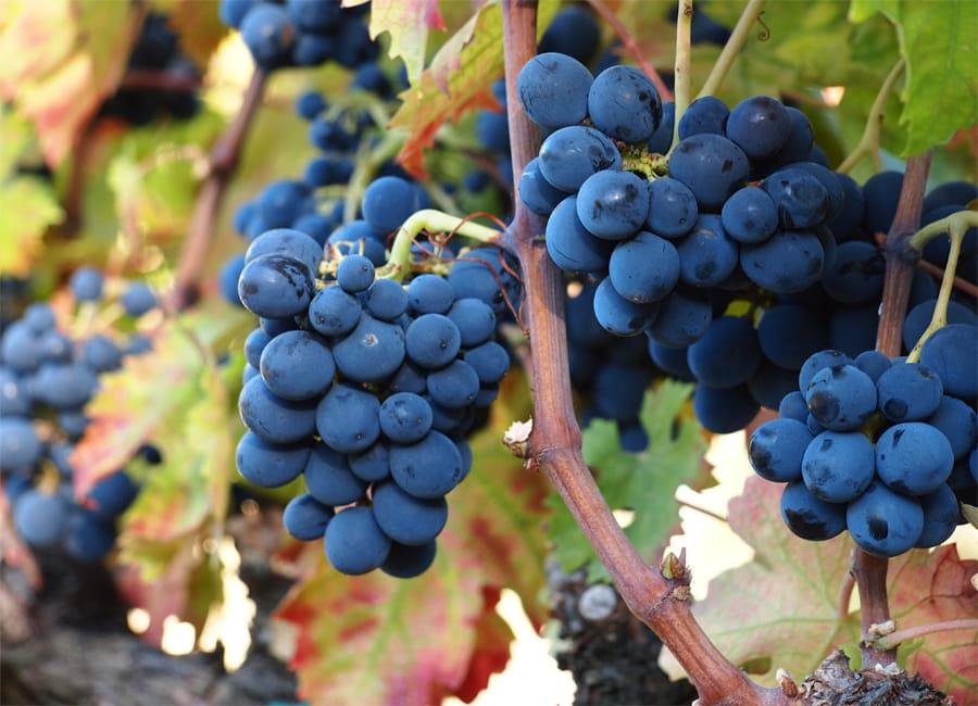 Montepulciano Grapes
