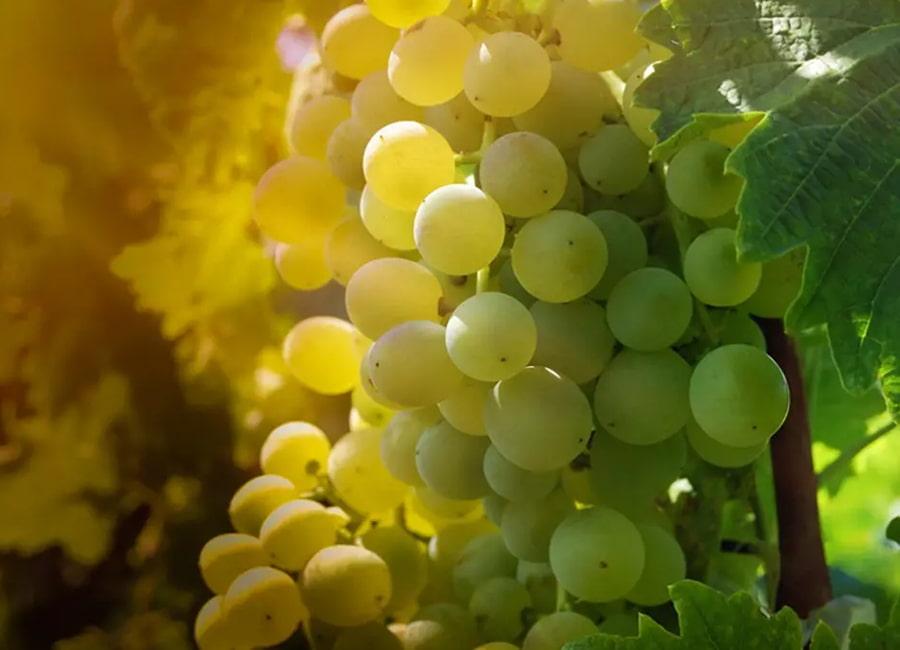 Sauvignon Blanc Viticulture