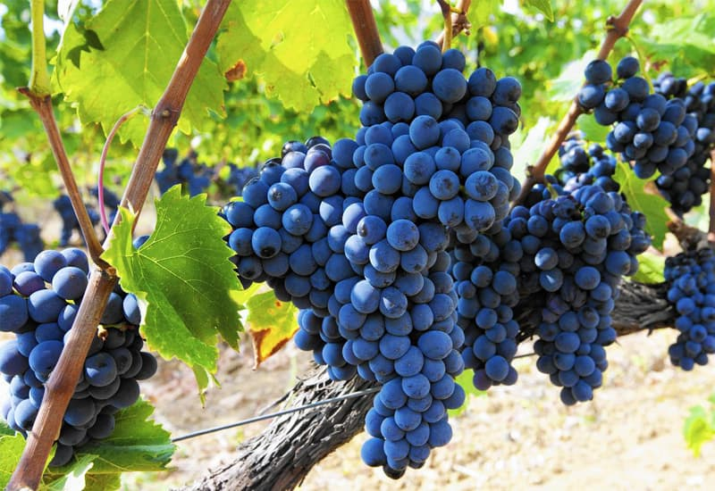 Chianti Sangiovese Grapes