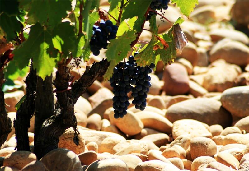 Syrah Grape and its Terroir