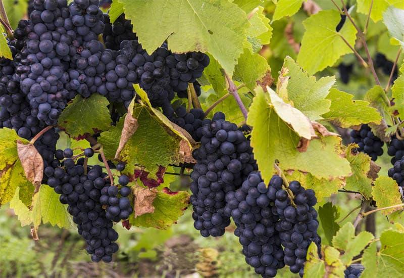 Burgundy Grapes: Pinot Noir and Chardonnay