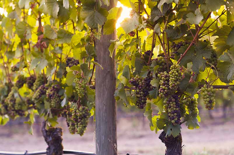 Pinot Noir - One of the Hardest Grapes to Grow