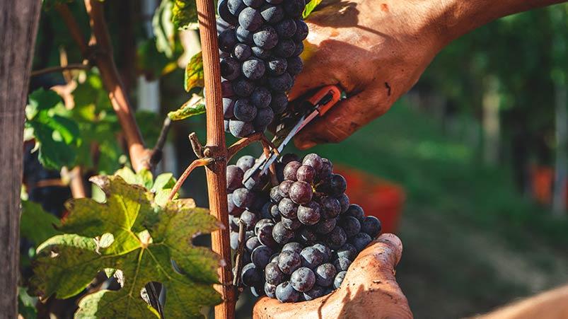 Pinot Noir Winemaking and Terroir