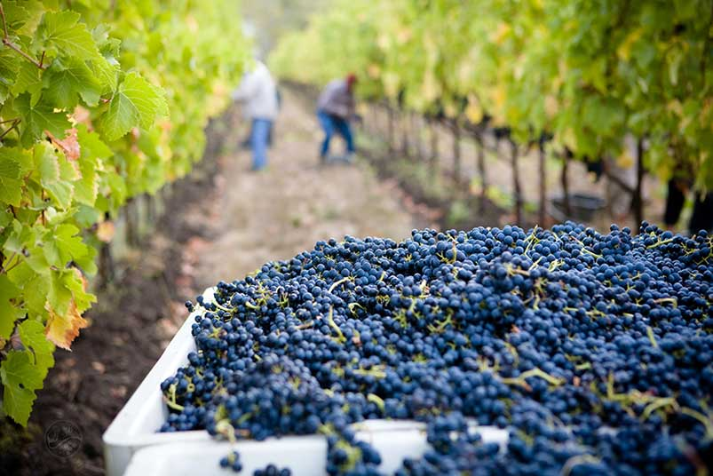 Pinot Noir Popularity in the USA