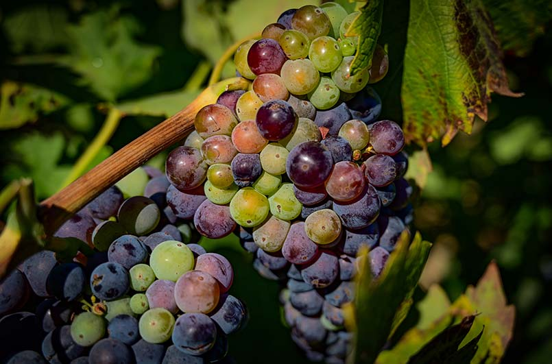 Pinot Noir is Among the Oldest Grape Varietals in the World