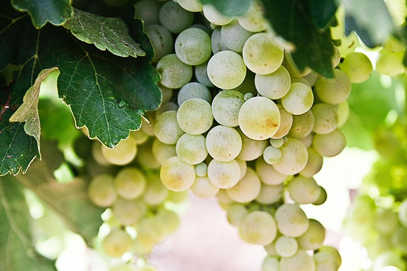 All About Pinot Grigio