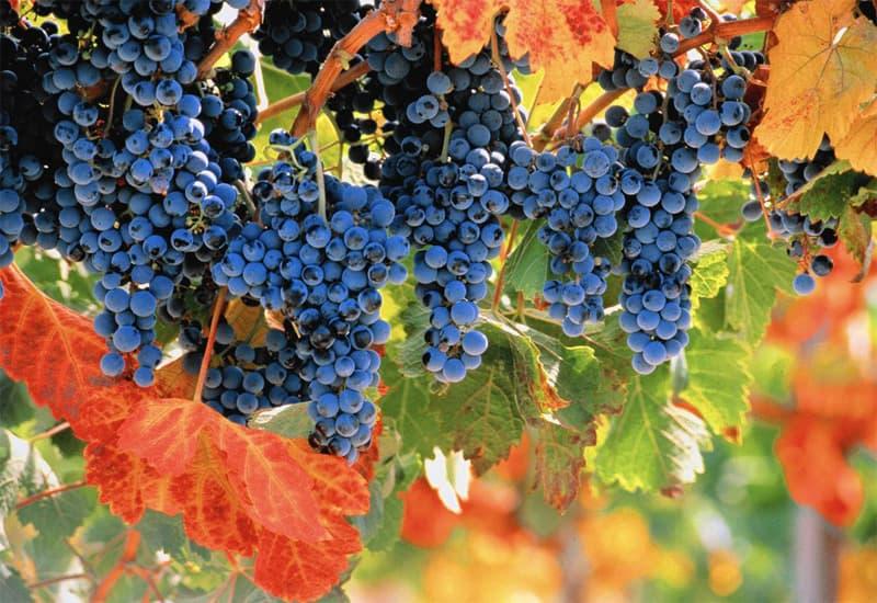 Merlot: The Grape Used to Make Petrus Wine