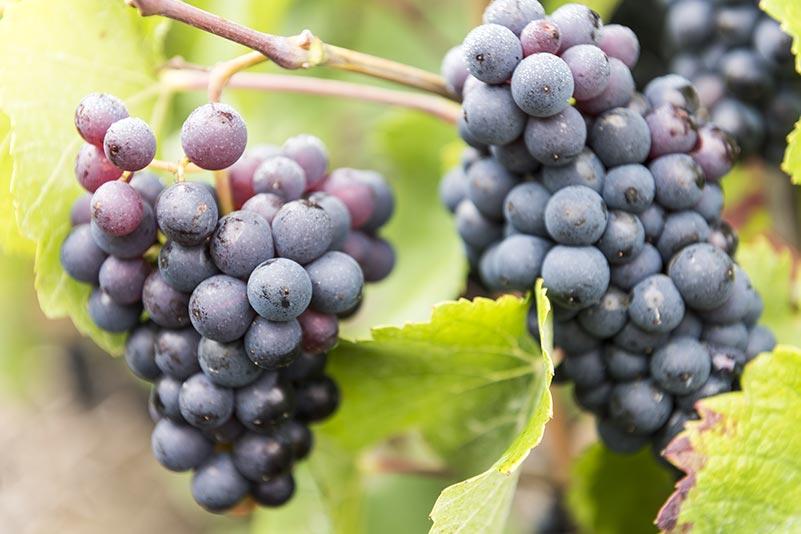 La Tache Vineyards