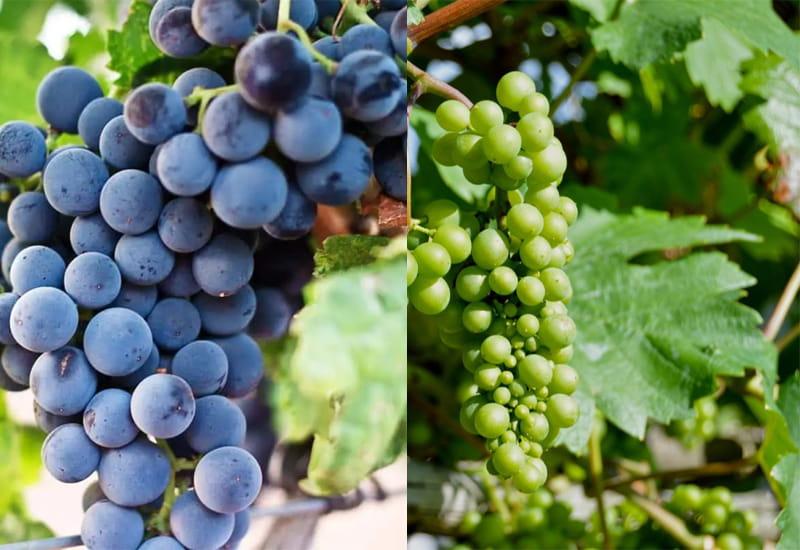 Grapes Grown in Vinho Verde