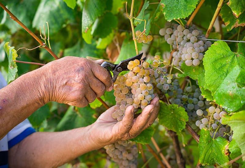 Vinho Verde Viticulture and Winemaking