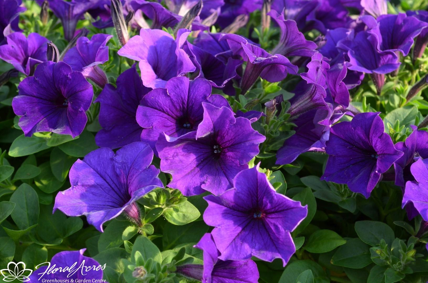 Petunia Easy Wave Blue Floral Acres