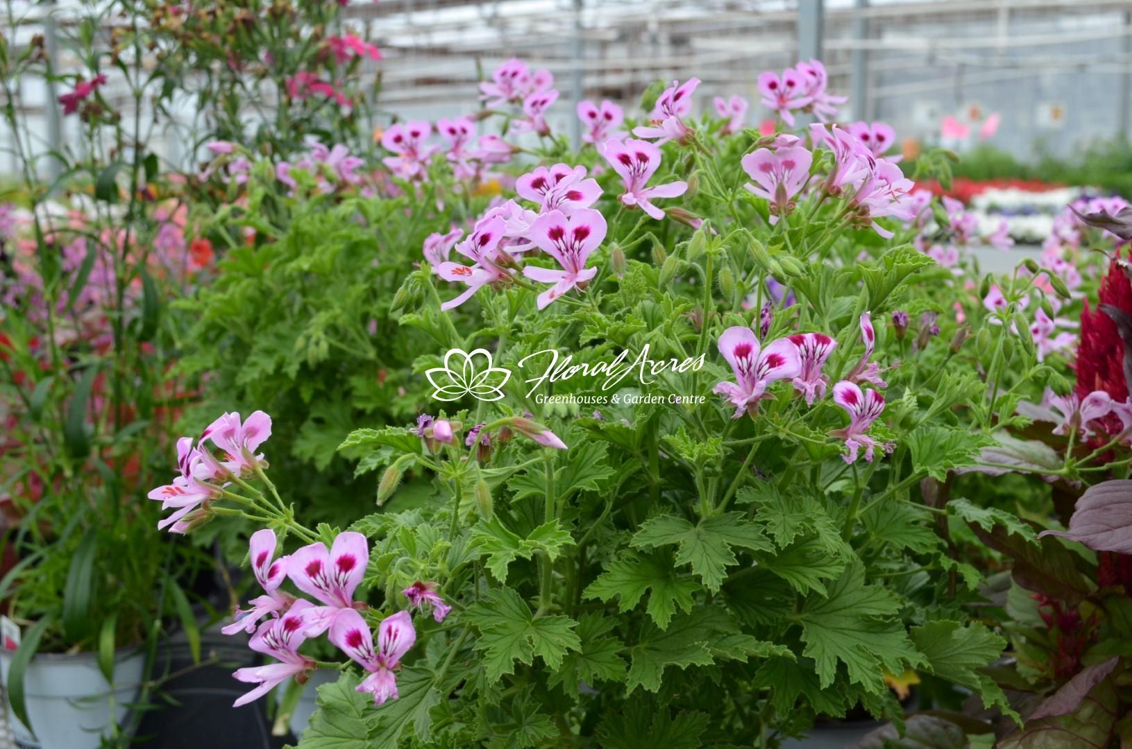 Geranium Novelty Scented Citriodorum Citronella Floral Acres