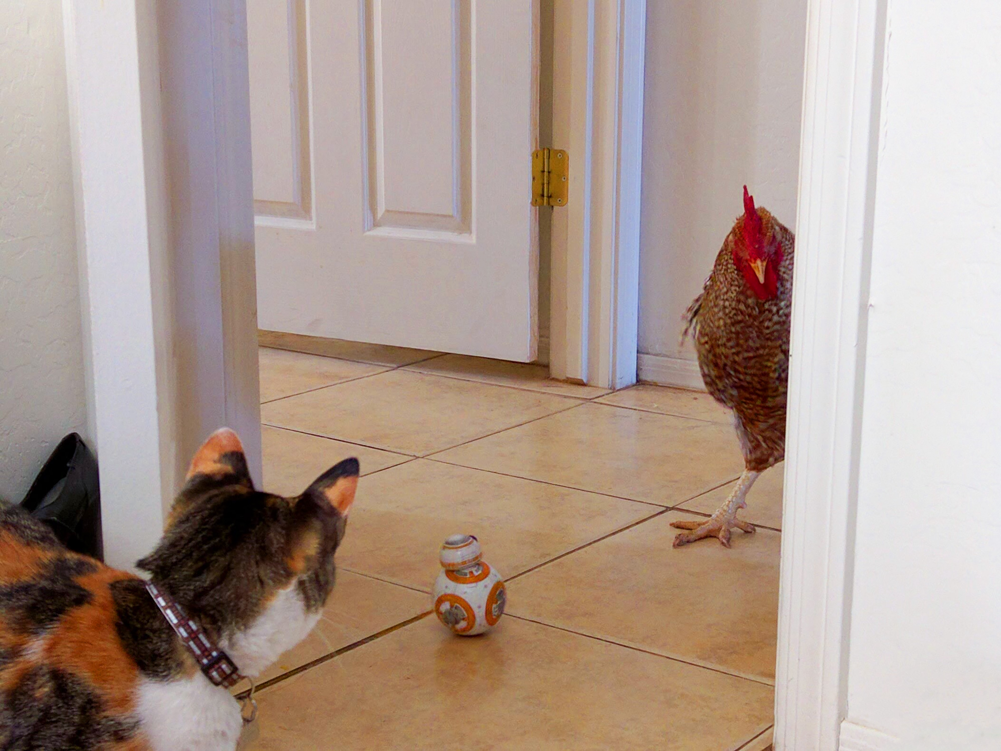 A cat and a chicken in a home, staring at a toy shaped like the tiny robot BB-8 from Star Wars.