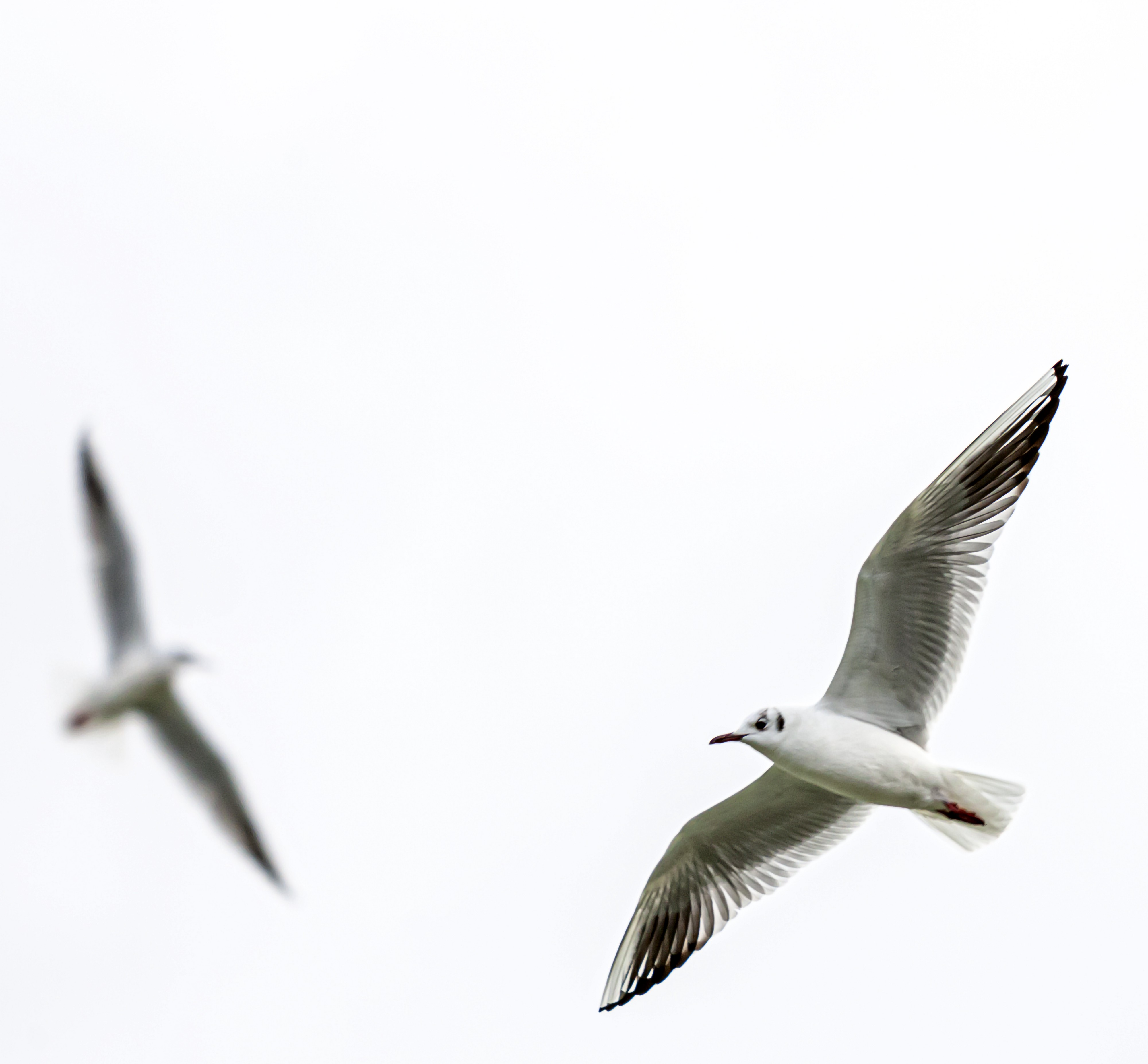 Two seagulls flying in circles in the air. One of them in the foreground, and the other is blurry in the background.