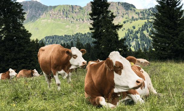 des vaches dans un pré