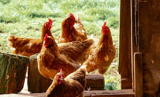 des poules