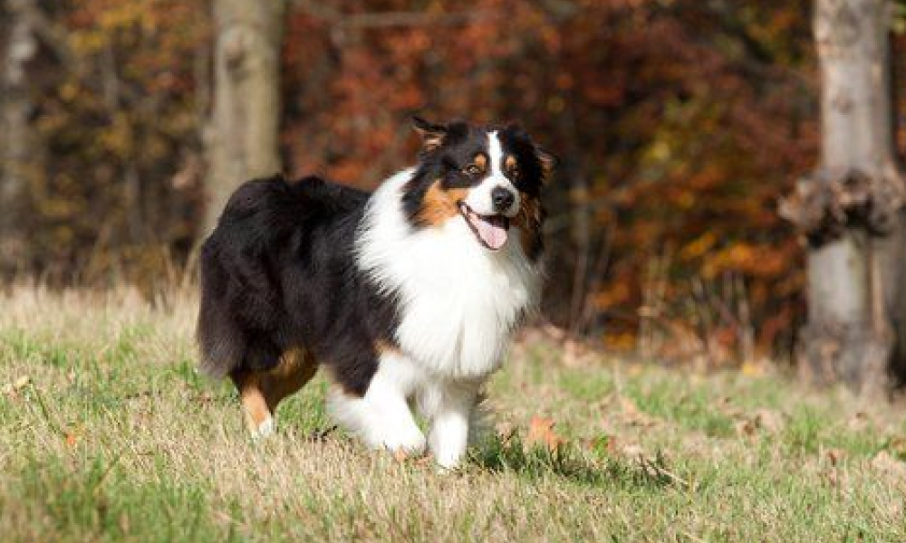 Collie frolicking in grass getting physical activity