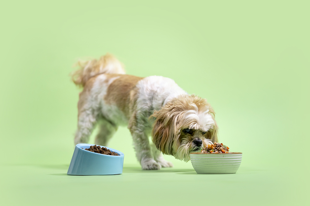 Shih Tzu eating Kabo fresh cooked recipes instead of bowl of kibble