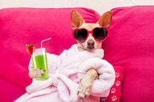 Chihuahua wearing pink robe, pink sunglasses sitting on a pink couch