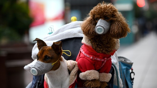 Tiny Toy Poodle and Jack Russel Terrier wearing masks for coronavirus