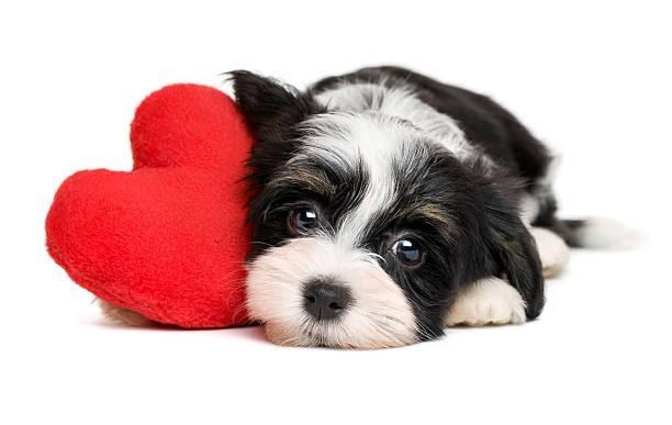 Shih Tzu cuddling next to heart plush toy