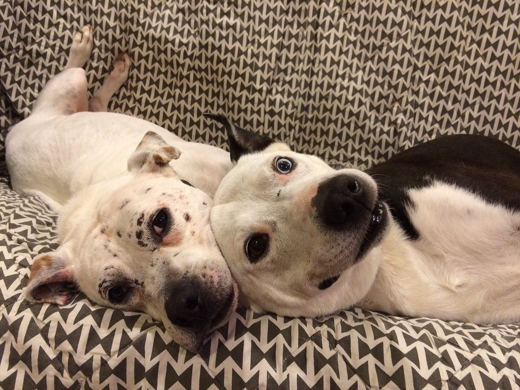 American Pitbull cuddling with a Heterochromia iridis canine