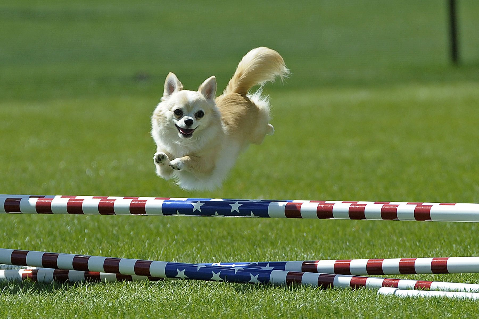 Chihuahua competing in dog show jumping over obstacles