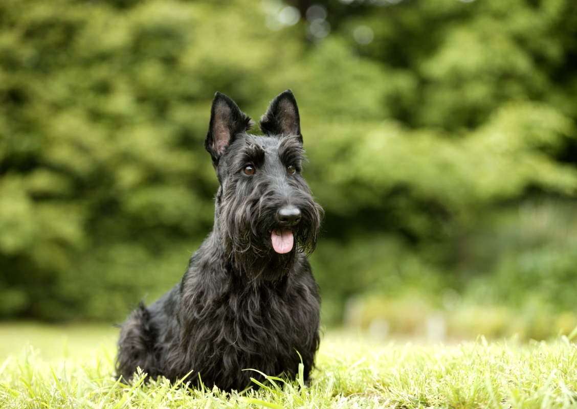 Scottish Terrier sitting in green field waiting patiently