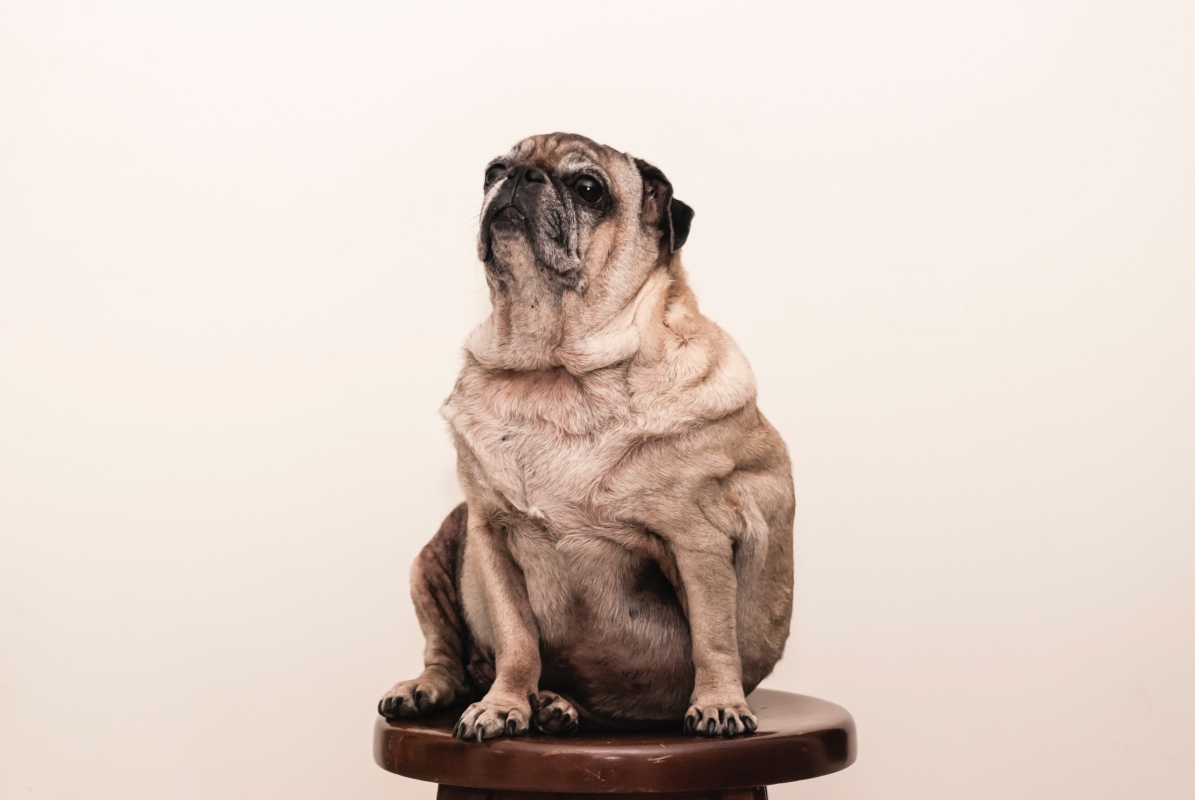 Older pug sitting on a stool with cream background