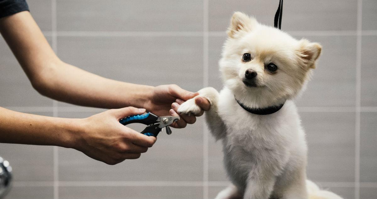 Pomeranian getting nails trimmed by vet technician
