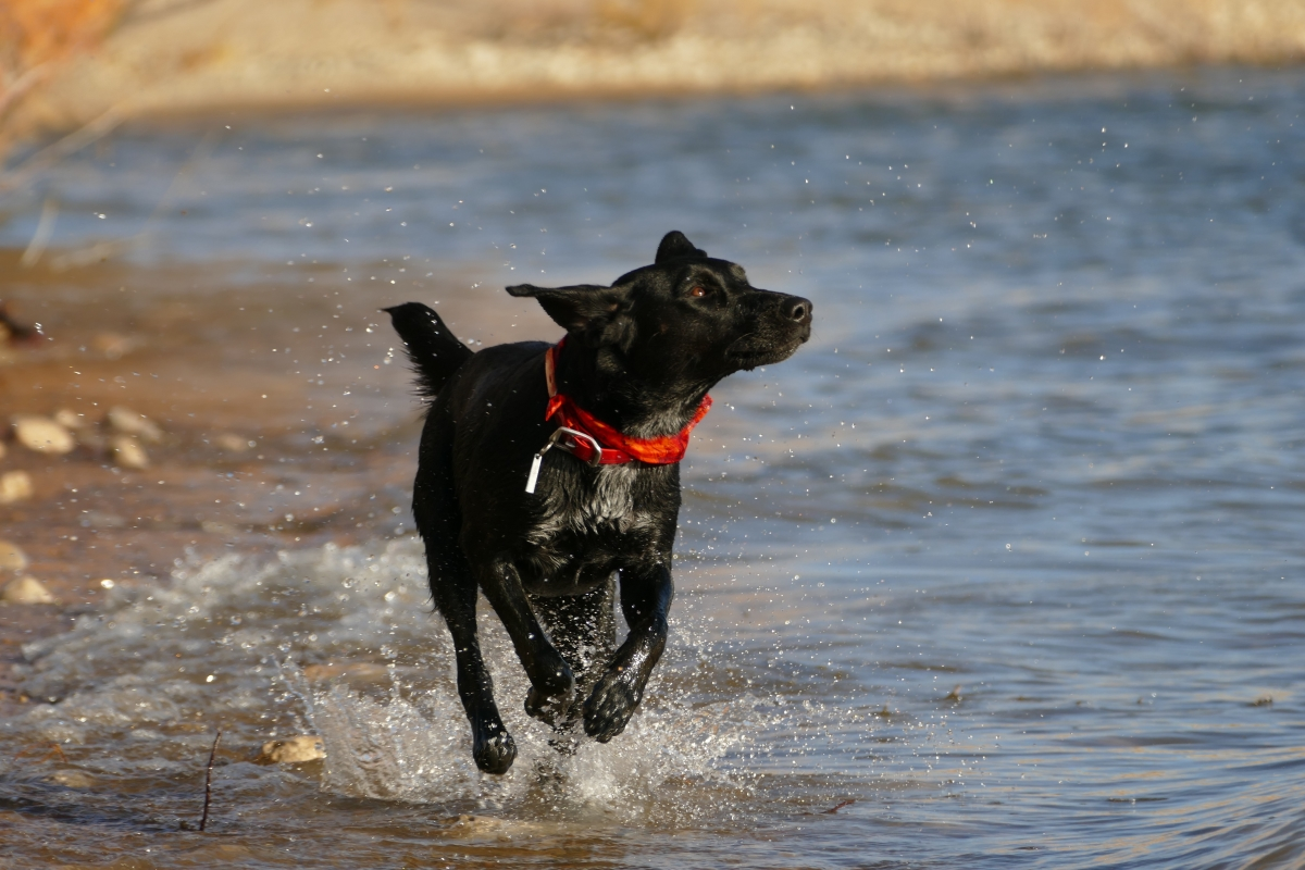 Black Labrador frolicking through water