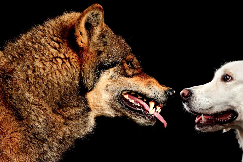 Wolf showing teeth facing Golden Labrador