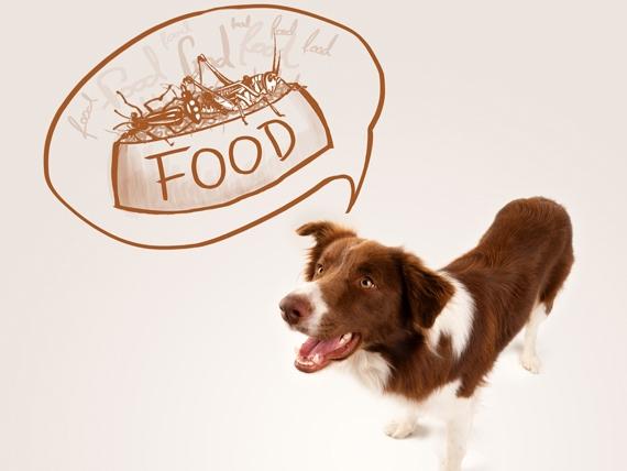 Australian Shepherd dreaming about food
