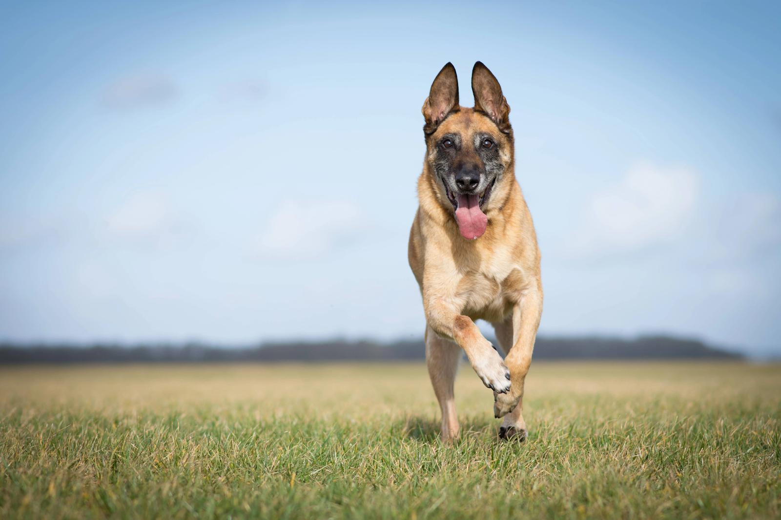 German Shepherd frolicking in an open field