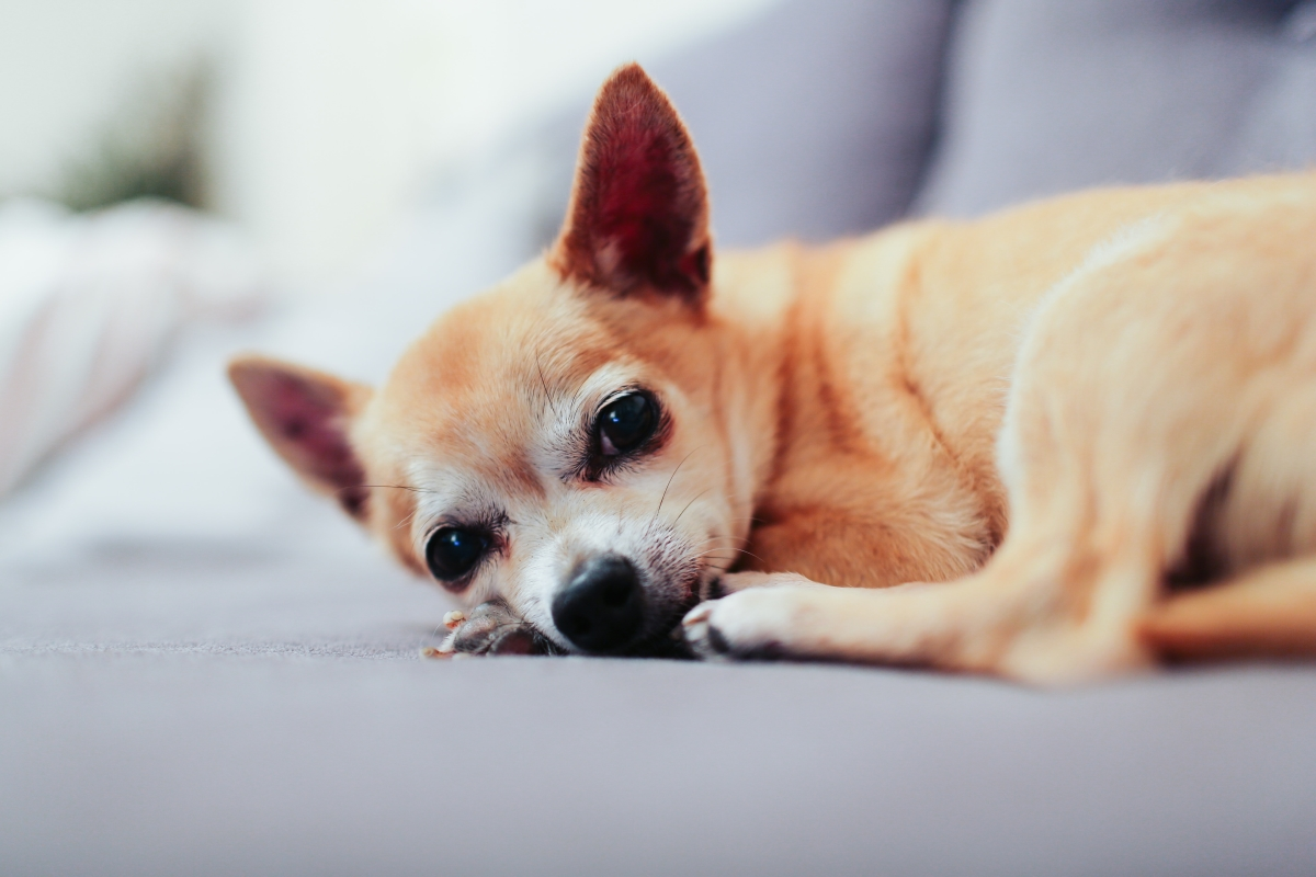 Chihuahua curled up on the couch