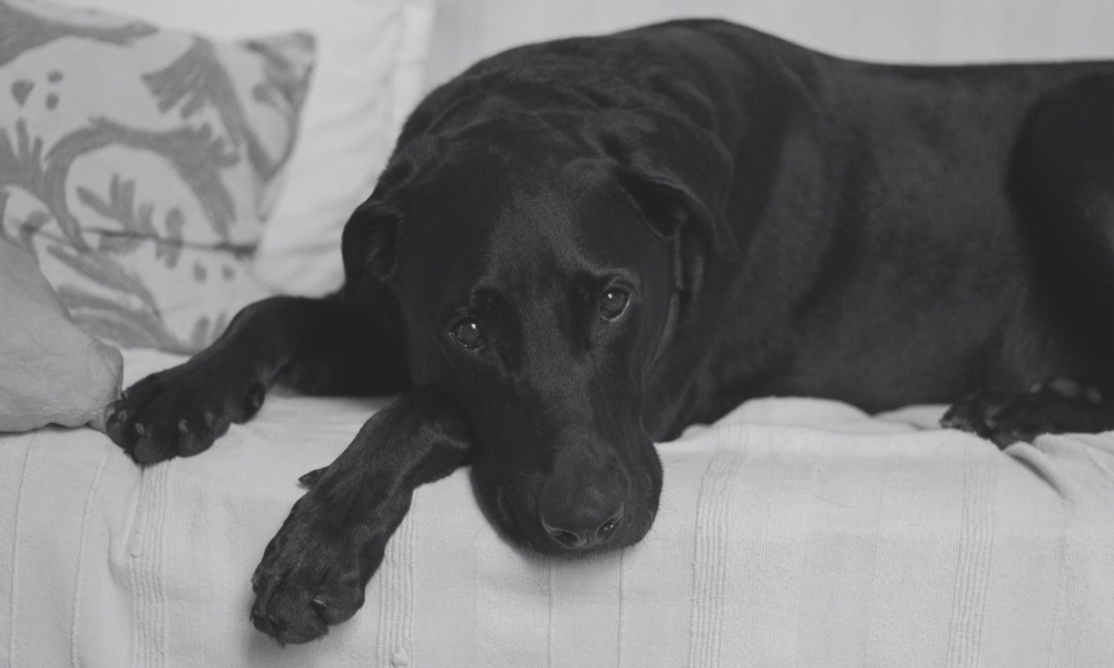 Black Labrador laying on the couch in distress