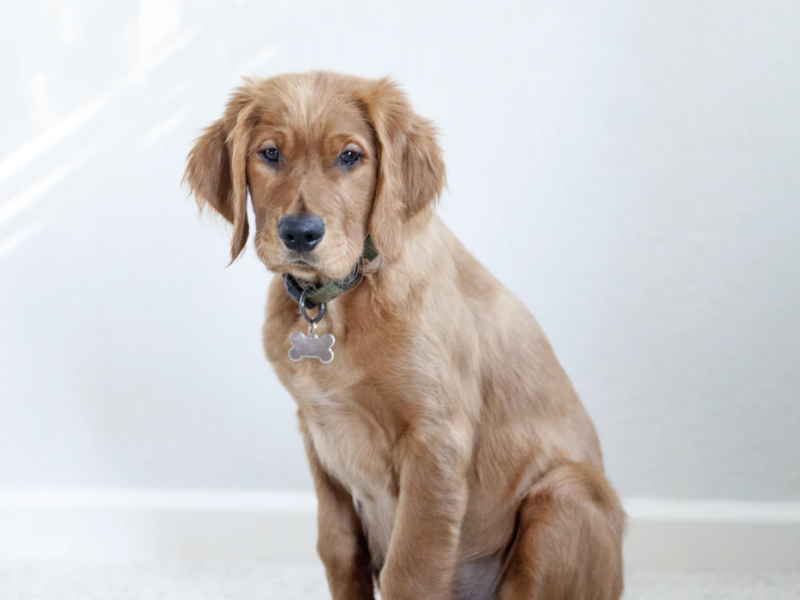 Golden Retriever sitting looking concerned