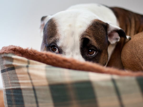 Pitbull curled up in a ball behind a pillow