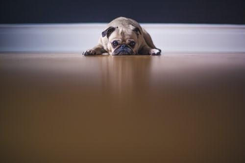 Pug puppy splooting on hardwood floor looking lethargic