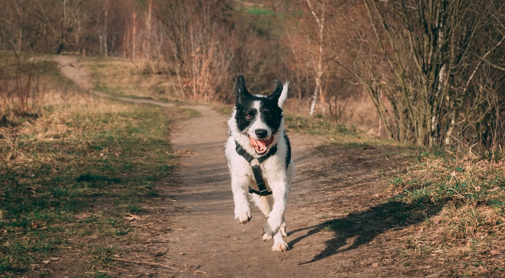black and white border collie mix puppy running on brown dirt road during daytime