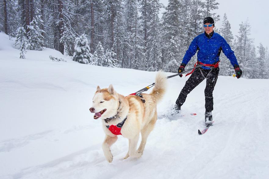 Husky running down snow path pulling man on skis