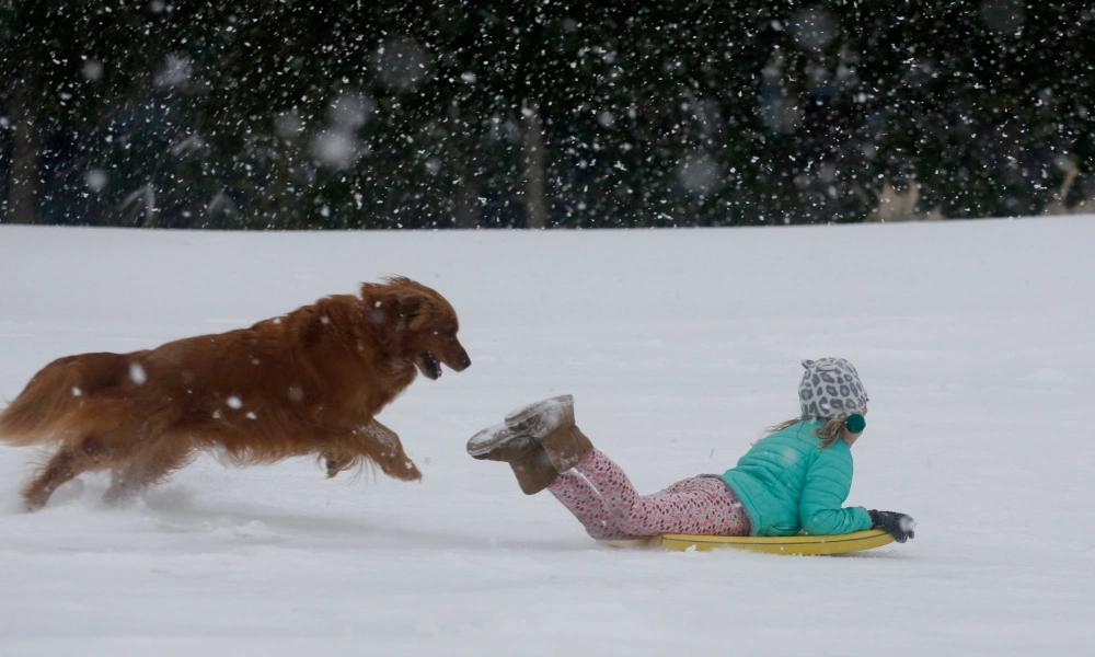 Retriever chasing little girl on yellow sled
