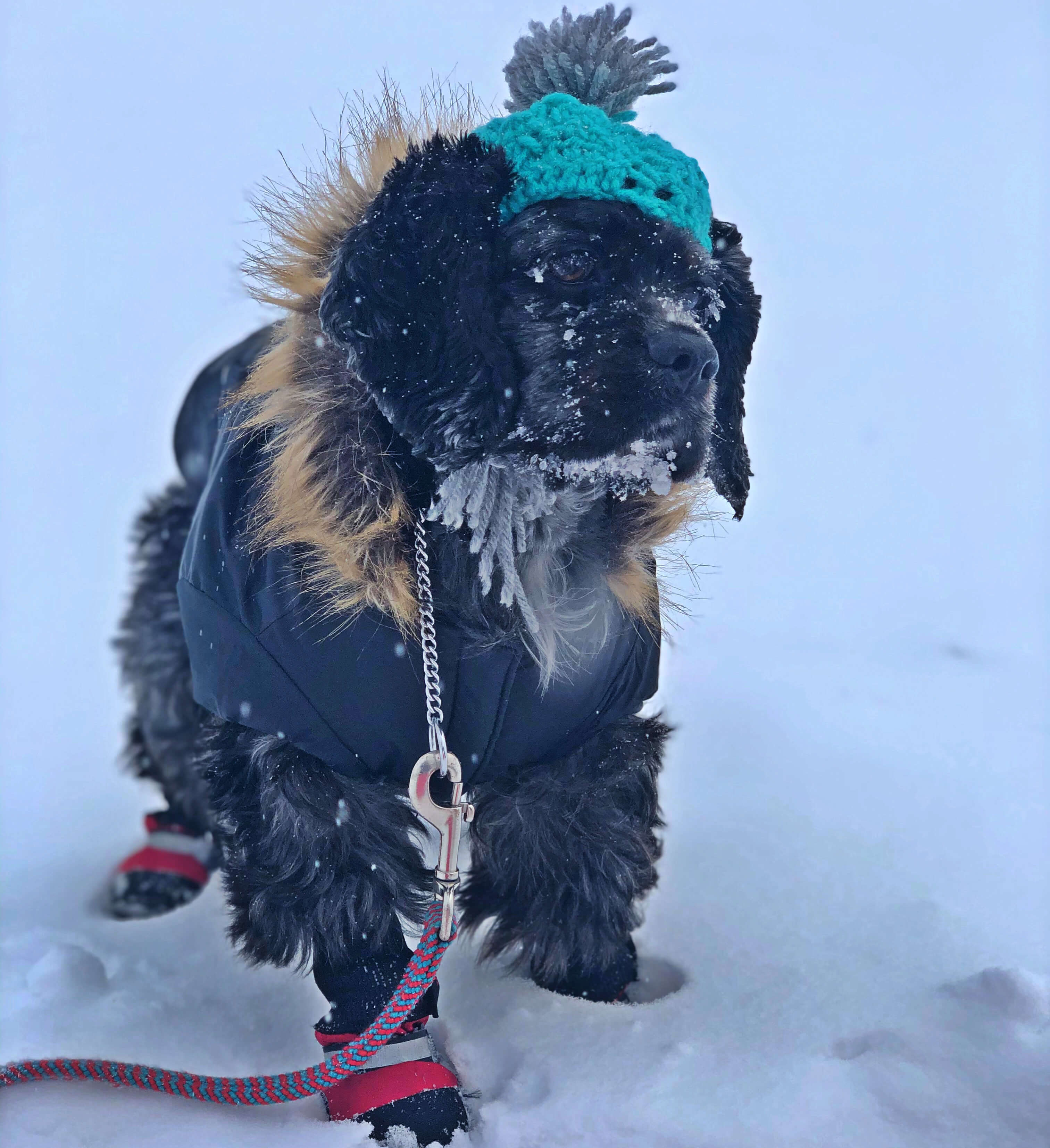 Cocker Spaniel wearing winter jacket and boots sitting in the snow