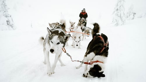 Pack of huskies pulling a sled with man riding on the back