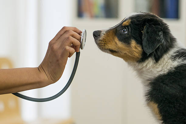 Australian Shepherd puppy sniffing stethoscope as the vet tries to take it's heartbeat
