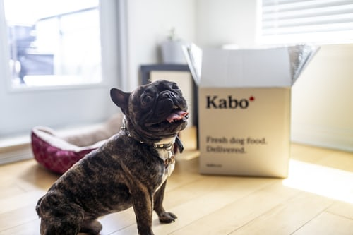 Frenchie sitting in front of Kabo fresh dog food box