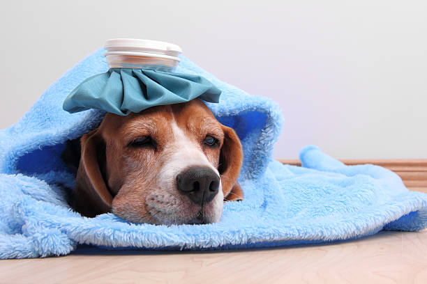 Lethargic adult beagle wrapped in a soft baby blue blanket with an ice pack on your head