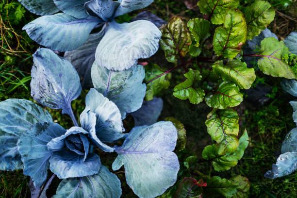 Aerial Shot Of Organic Vegetables On Farm Plot An aerial shot of various organic vegetables on a small urban farm plot