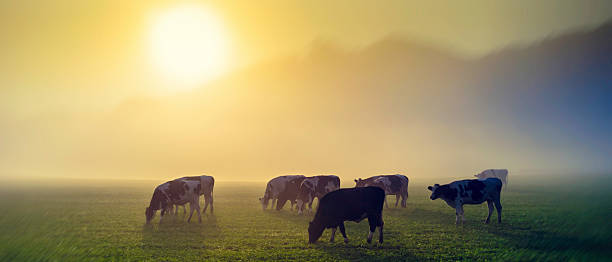 Panoramic shot of cows on pasture at sunrise, back light.