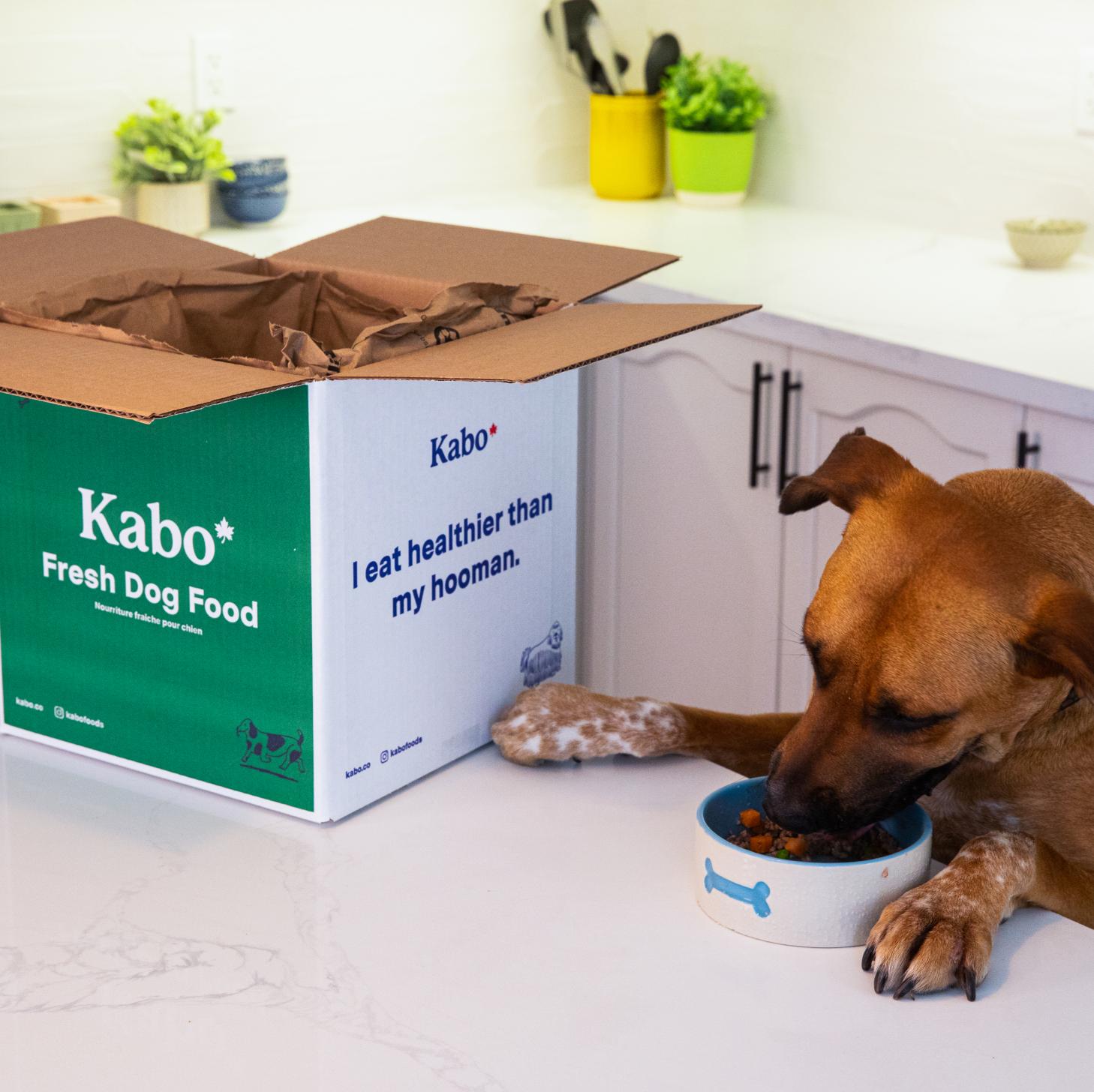 Kabo dog eating Kabo fresh dog food on kitchen counter